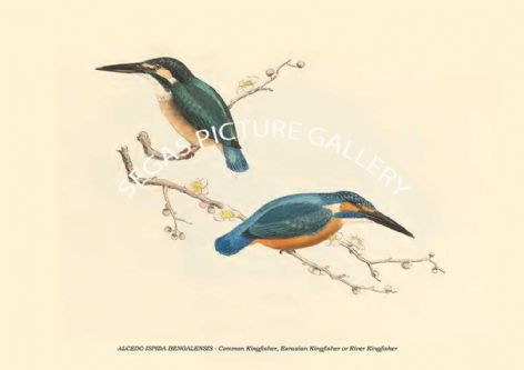 Fine art print of the ALCEDO ISPIDA BENGALENSIS - Common Kingfisher, Eurasian Kingfisher or River Kingfisher by Philipp Franz Balthasar von Siebold (1850)